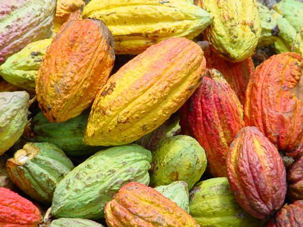De la fève à la tablette, secrets de fabrication du chocolat cru…